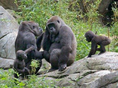 gorilla birthday