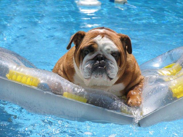 Bulldog-summer