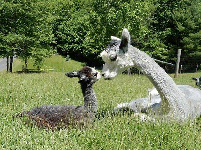 Landmark-Farm-Alpacas